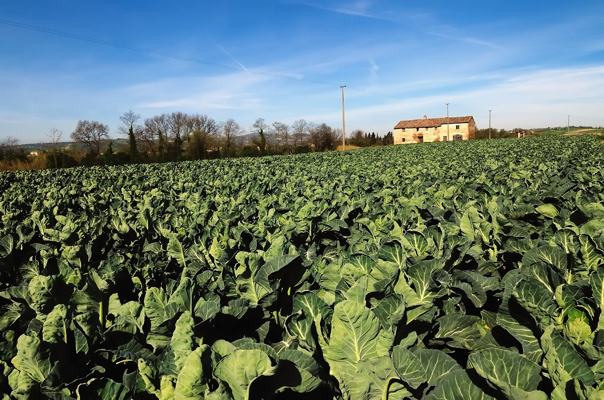 Robots to join cauliflower pickers after harvesting tech breakthrough