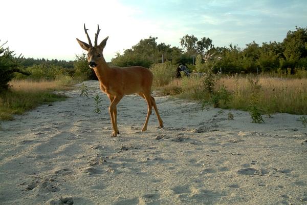 Deer on a wildlife bridge in the Netherlands. Image: Wageningen University & Research